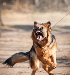 Aggressive german shepherd dog